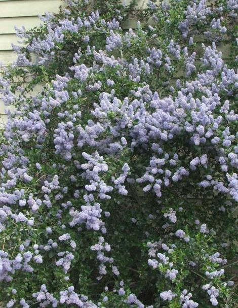 Hedges, Wind breaks, and Screens with California Native Plants-good resource with advantages and disadvantages and ideal habitat for each variety