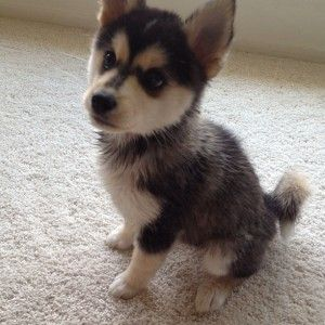 Pomsky are freaking adorable!!!