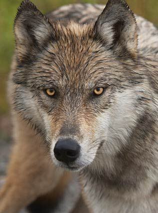 Eyes of the Wolf-Thomas Mangelsen    He captures the spirit of the animal with his portraits