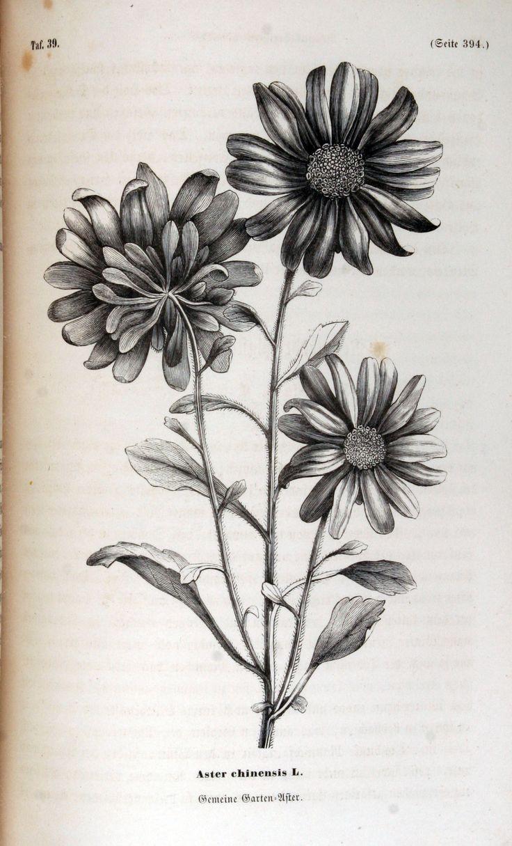 "wallacegardens: "" Aster chinensis (1858). """