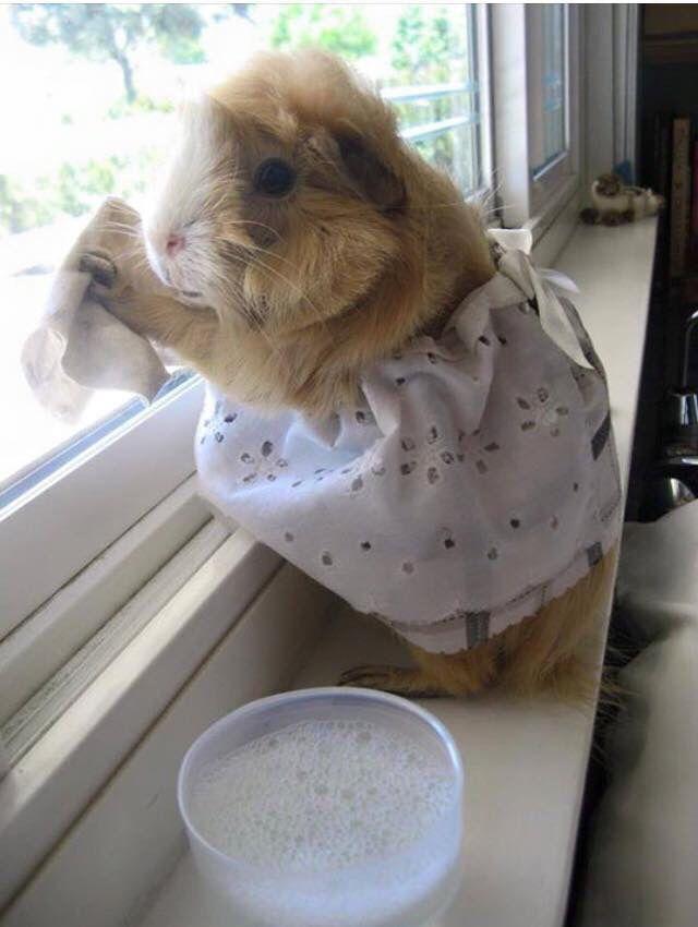 Guinea pig doing the housework beautiful piggies