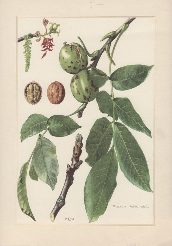 Vintage Botanical Print, Juglans regia, Persian walnut, English walnut, Lithograph Print.  Botany Illustration published in 1960, beautifully