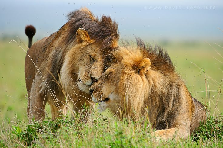 9 TOP Google  Photographs for April 24, cover photo by David Lloyd: https://plus.google.com/108814095124166327089/posts/Uio1GzNW2kF: Big Cat, Lion Pictures,  King Of Beasts, Lion Love,  Panthera Leo, Covers Photos, David Lloyd, Brother Photos, Bigcat
