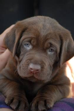 Chocolate Labrador Puppies I want another baby lab mine died at 6 yrs old