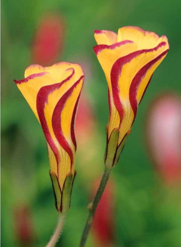 Oxalis 'Golden Cape' originaire d' #Afrique du Sud