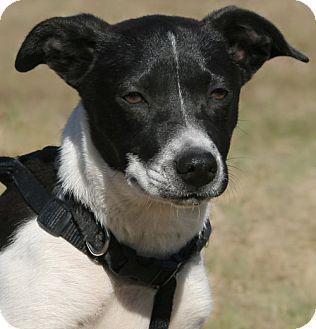 North Fort Myers, FL - Rat Terrier Mix. Meet Mayflower, a puppy for adoption. http://www.adoptapet.com/pet/17887357-north-fort-myers-florida-rat-terrier-mix