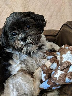 Greensboro Nc Shih Tzu Meet Winston A Dog For Adoption Pets
