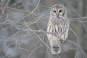 """Streifenkauz (Strix varia) """"Die Eulen (Strigiformes) sind eine Ordnung der Vögel (lat. Aves), zu der ungefähr 200 Arten gezählt werden. Vertreter der Gruppe sind auf allen Kontinenten außer der Antarktis anzutreffen. Die meisten Arten sind nachtaktiv und haben zahlreiche Anpassungen an ihre nächtliche Aktivität entwickelt. Innerhalb der Eulen unterscheidet man die beiden Familien der Schleiereulen (Tytonidae) und der Eigentlichen #Eulen (Strigidae)."""" #owl #Eule  #strigo (ESPERANTO)"""