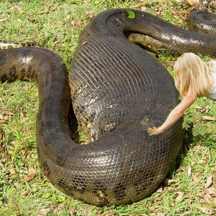 выборе картинки толстых змей носится магазину