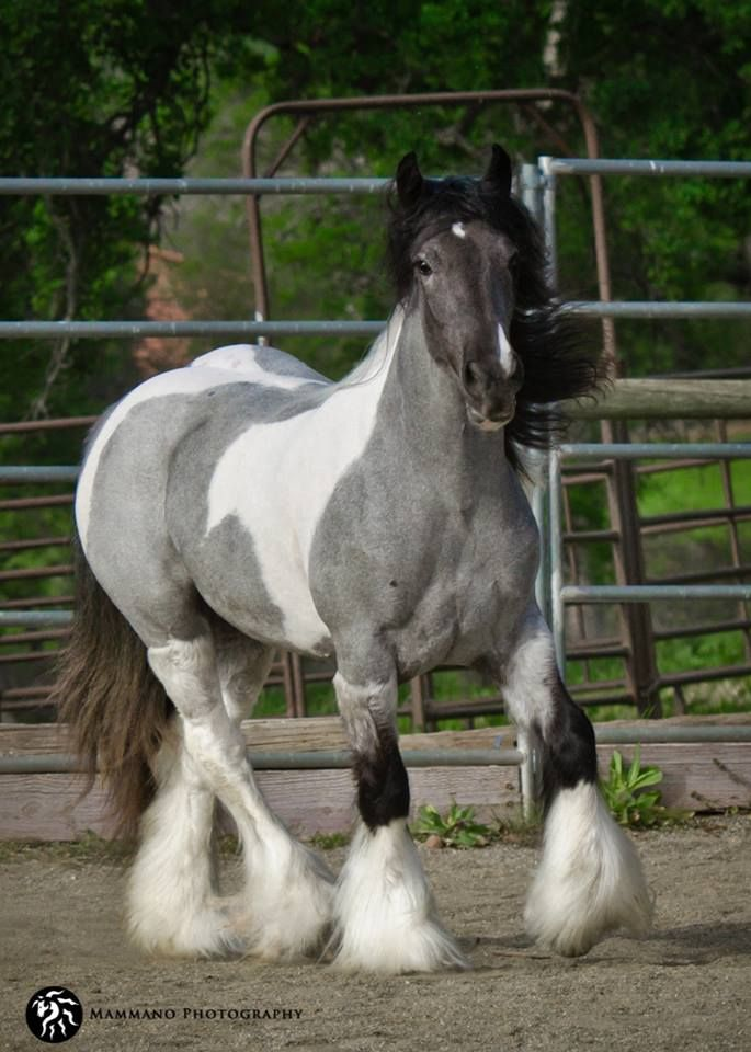 2 yr old blue roan tobiano filly_Thunder Dreams in Blue Jeans
