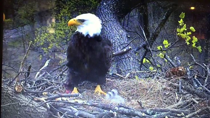 Live Eagle/Eaglet Cam in Washington DC - YouTube.   If you haven't been by in a while, you may not know that we are OBSESSED with the DC live eagle cam. So it's a happy spring day that the chicks are hatching! #obsessed #LiveEagleCam #calvertcountydentist