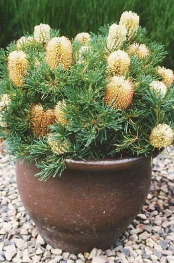 'Birthday Candles' (Banksia spinulosa var.); Flowering from autumn through to early spring, in a sunny position. Can attract nectar eating birds and insects.