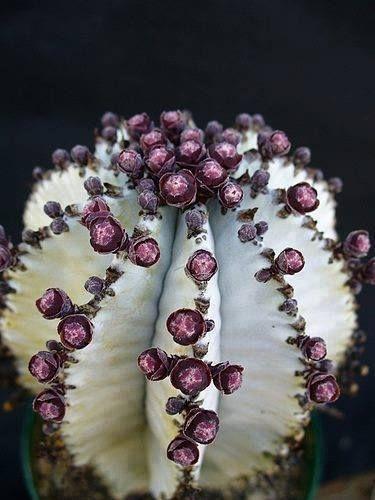 Euphorbia horrida 'snowflake' - Fique a conhecer as nossas dicas de jardinagem em: www.asenhoradomonte.com