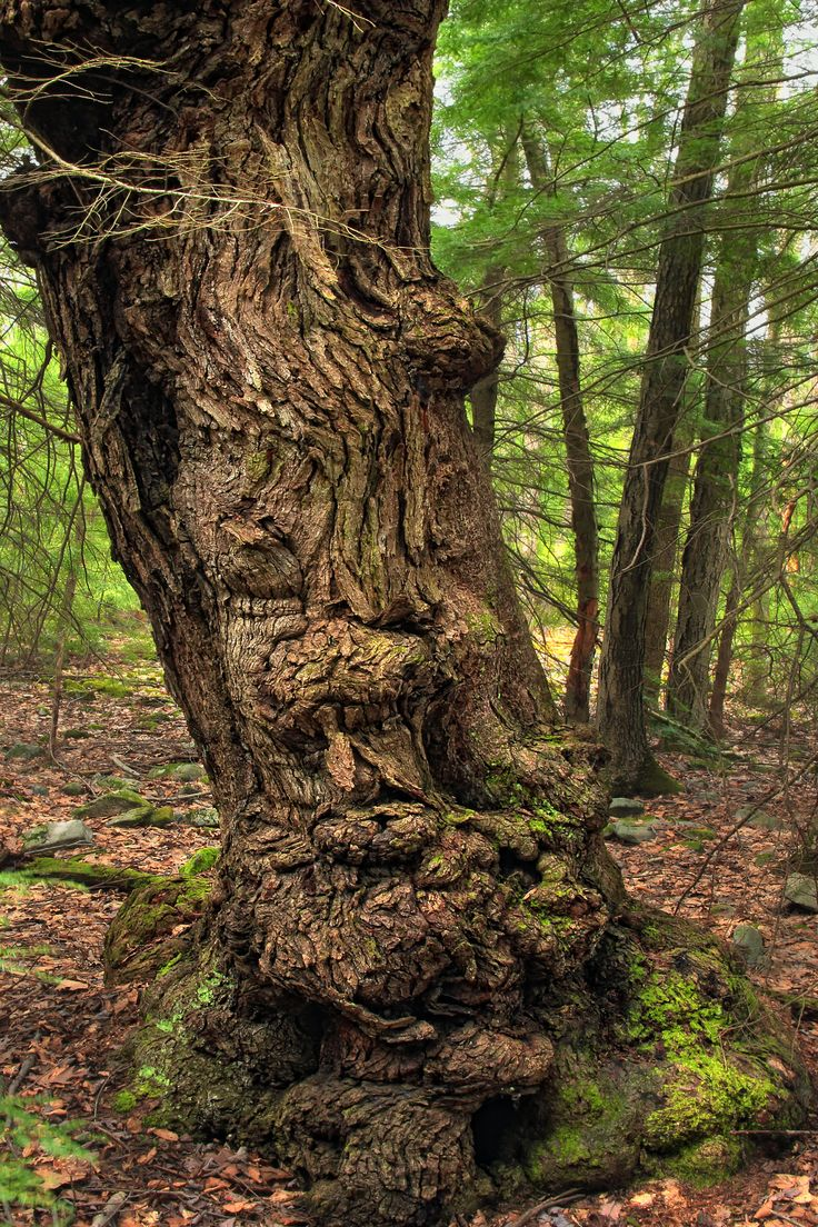 https://flic.kr/p/ef4nKu | Ogre Tree | Curiously knotted oak tree, Bald Eagle State Forest, Clinton County, along Cherry Run.