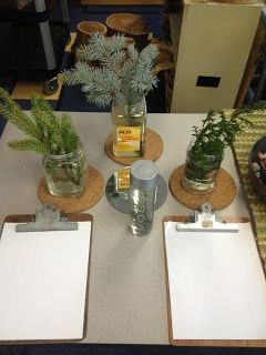 Banches of evergreens in water for science center: Inquiring Minds: Mrs. Myers' Kindergarten: Our Room: An Environment Created for Investigating