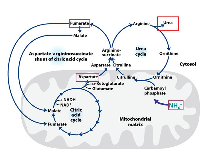 urea cycle | figure 15 the urea cycle