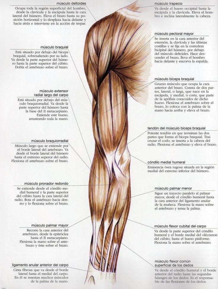 musculos_del_brazo.jpg (800×1061) | Anatomía Artísitica | Pinterest ...