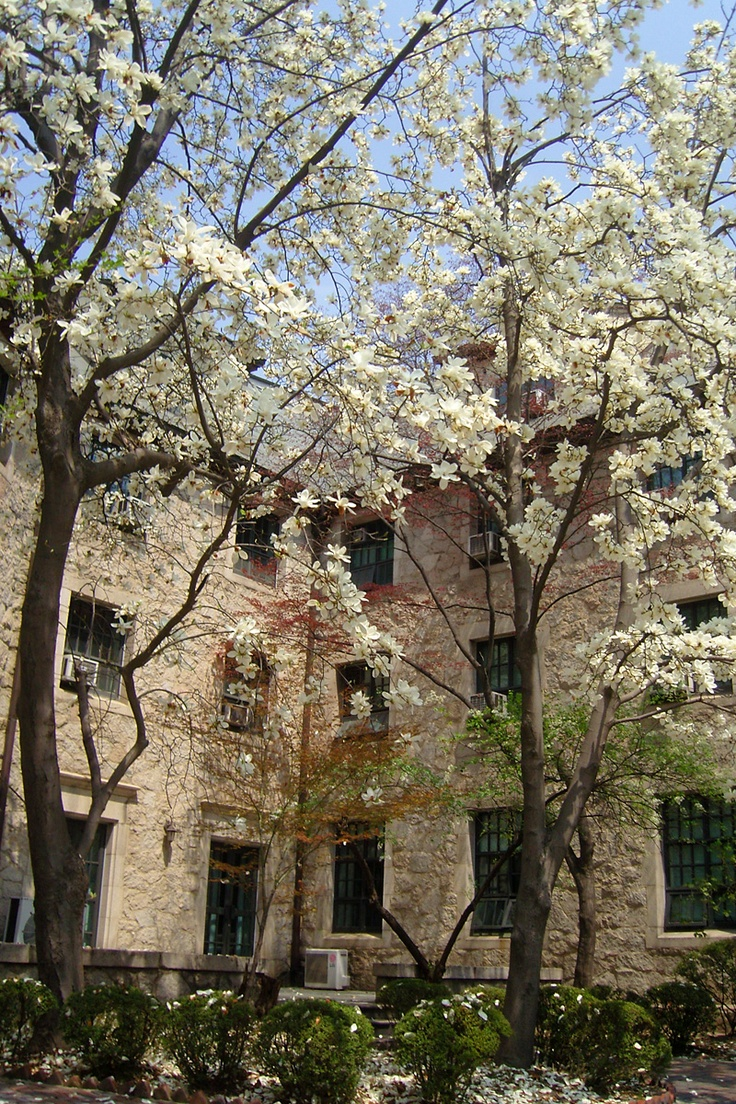Magnolia trees, Jinsunmi Hall