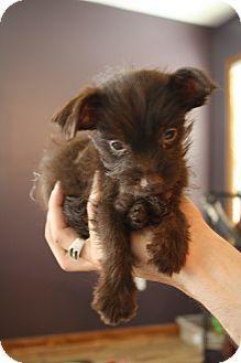 Lebanon, TN - Poodle (Miniature)/Chihuahua Mix. Meet Corky a Puppy for Adoption.