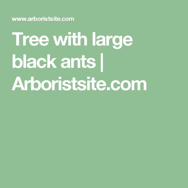 Tree with large black ants   Arboristsite.com