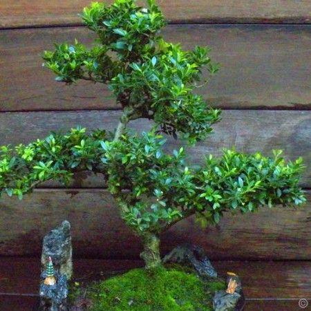 Bonsai Ilex 19 Jaar oud 30cm - 1 boom