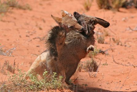 293 best images about animal combat on pinterest wolves