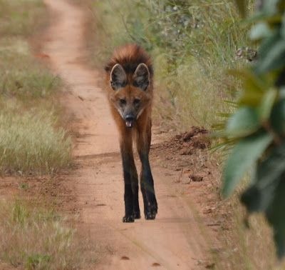 Lobo Guará (Maned Wolf or Chrysocyon brachyurus) - Emas National Park - Goiás, Brazil