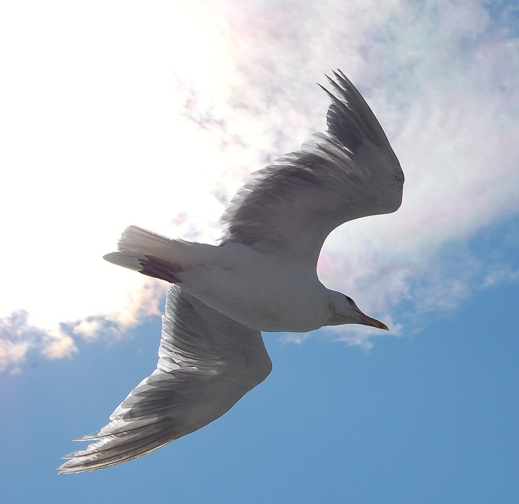Seagull in Vancouver island