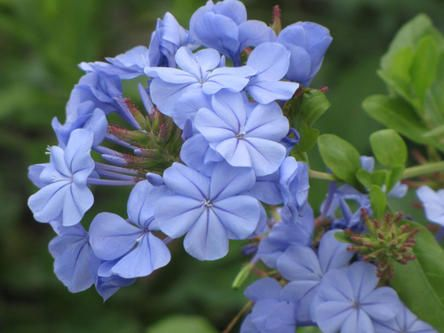 Plumbago, no Louisiana garden should be without this plant.