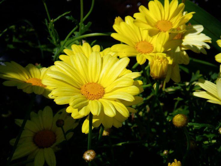 Marketta (pensaspäivänkakkara) - Argyranthenum frutescens - buskmargerit