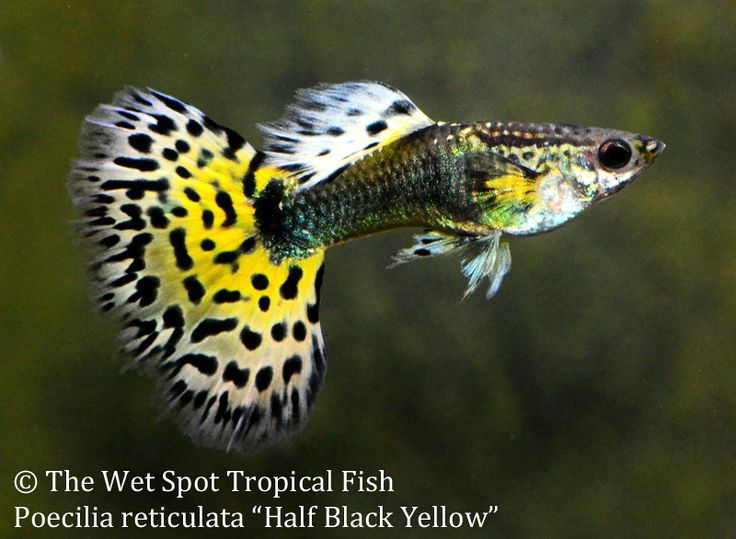17 best images about guppies on pinterest auction live for The wet spot tropical fish