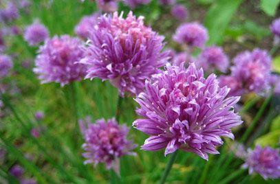 RHS Plant Selector Allium schoenoprasum / RHS Gardening | Chives