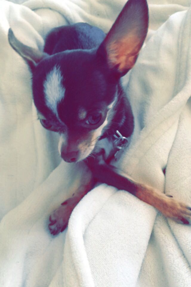 My bubby #chihuahua #chi #puppy