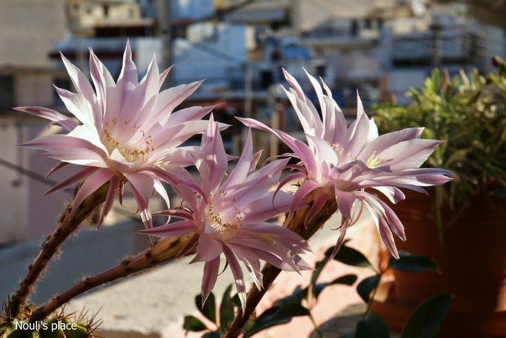 Night-blooming cactus  -Nouli's Place-