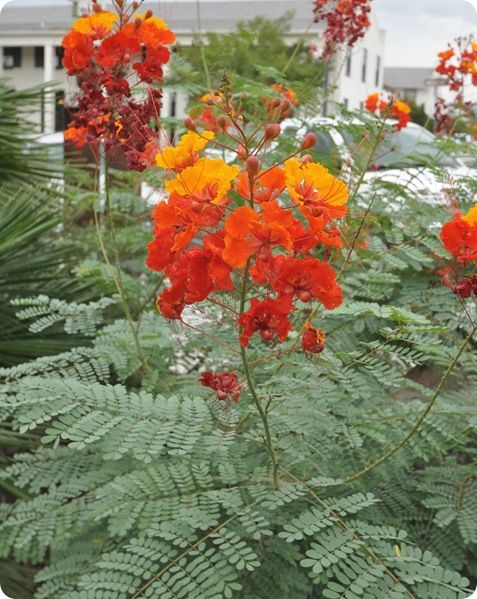 I've started seeing a lot of these (Mexican Bird of Paradise) growing in gardens (yards) and parks around here. I think I might have to find out more about them. They're quite stunning.