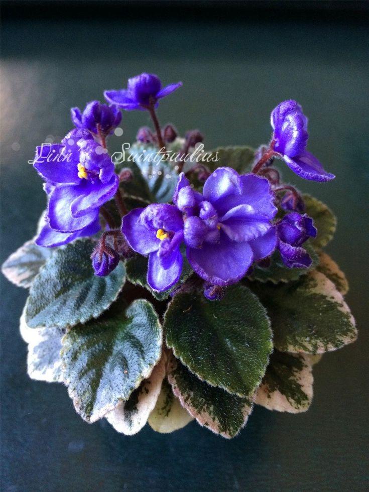 Rob's Jitterbug  African Violet, Saintpaulia, Grown by Boa Linn, photo taken by Boa Linn.