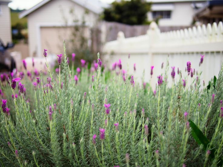 Lavender garden with white picket fence