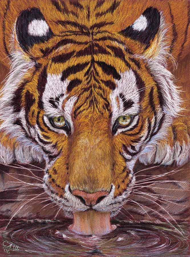 Drawing thirsty tiger by svetlana ledneva schukina colored pencils on paper mi teintes welcome to join the expressive wildlife art by schukina o