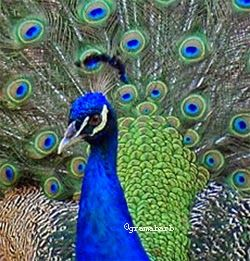 Backstage with GramaBarb #peacock  #mexico
