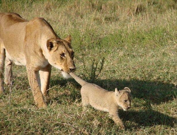 Leoa puxa filhote pela cauda para evitar que ele corra para longe de sua proteção em flagrante feito pela equipe do acampamento Governor's, durante safári na Reserva Nacional de Maasai Mara, no Quênia. A foto foi feita originalmente em abril de 2014 e divulgada novamente no Facebook do parque