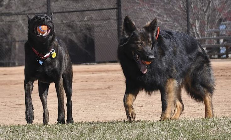 Tell me about DDR line German Shepherds - Page 1 - AR15.COM
