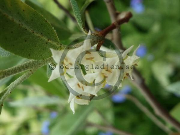 Elaeagnus umbellata, koreansk silverbuske