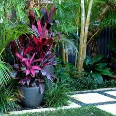 Tropical planting, red cordyline in pots the feature.