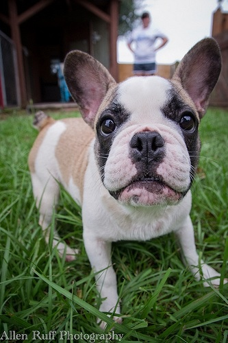 Mills Run Kennels French Bulldog