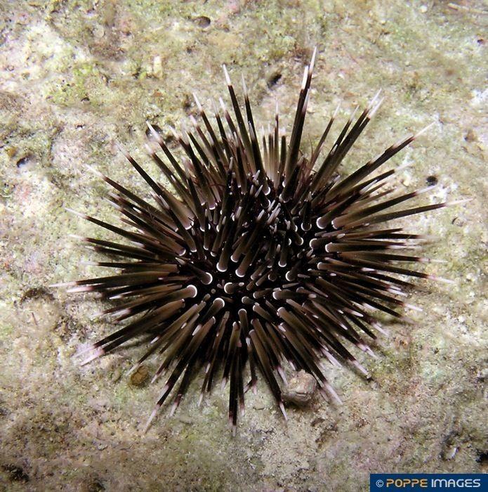 8 best urchin du jour images on pinterest sea urchins