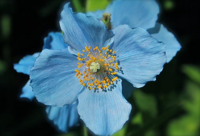 Himalayan Blue Poppy Bouquet 13 best Wedding...
