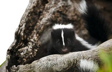 Queenie: Skunks provide more of a benefit than some people realize; they eat many pest insects that cause damage to your lawn and garden. However, skunk problems typically arise when they spray in defense, dig holes in search of food, or burrow in and around your home for shelter.