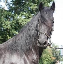 friese paarden   Naam     Fries paard         Ras     warmbloed         Type     barokpaard         Gebruik     tuigpaard, dressuur