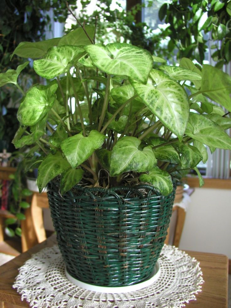 Although it may be grown outdoors in some regions, alone or in a mixed planting, the arrowhead plant is typically grown as a houseplant. Learn more about this plant in the following article.