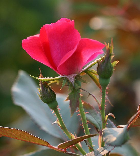 The Knock Out® Rose is first up on this list of easy-to-grow roses courtesy of Better Homes and Gardens! #roses #easycare